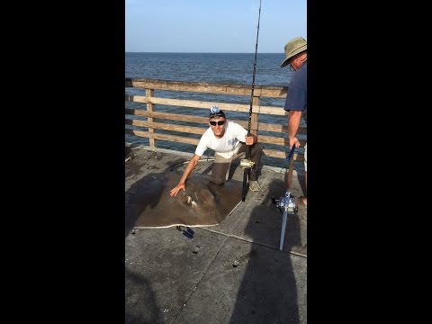 Bob Hall Pier Fishing 6-28-15, 5' 300lb stingray