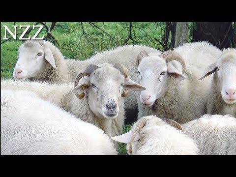 Das Schaf: Wolle, Fleisch Und Landschaftspflege - Dokumentation Von NZZ Format (2007)