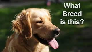Guess the Dog Breed Quiz