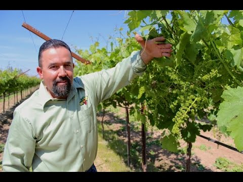 Shoot Thinning Table Grapes in the Spring
