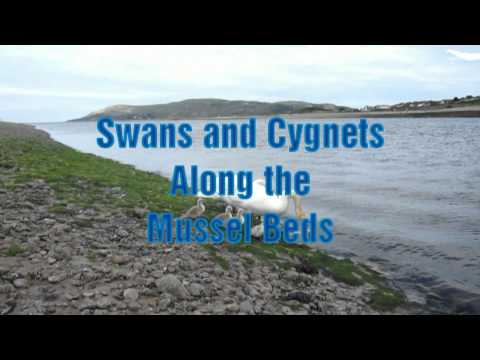 Baby Swans at Conwy, Wales