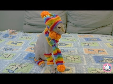 Funny Sphynx cat Casper in new costume from AliExpress