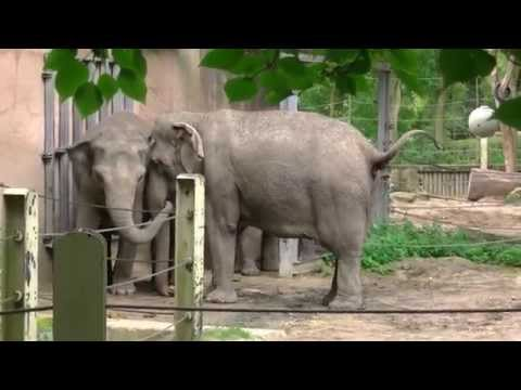 Extreme noise by excited elephants in Rotterdam Zoo (Blijdorp)