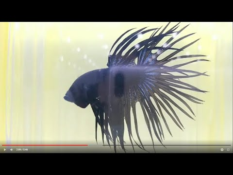 Betta Competition - Pet Expo  2019 Singapore