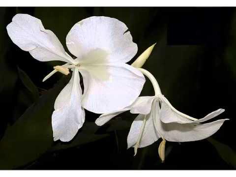 White ginger flower white flower images and ideas collection white ginger flower white flower images and ideas collection phula pics mightylinksfo