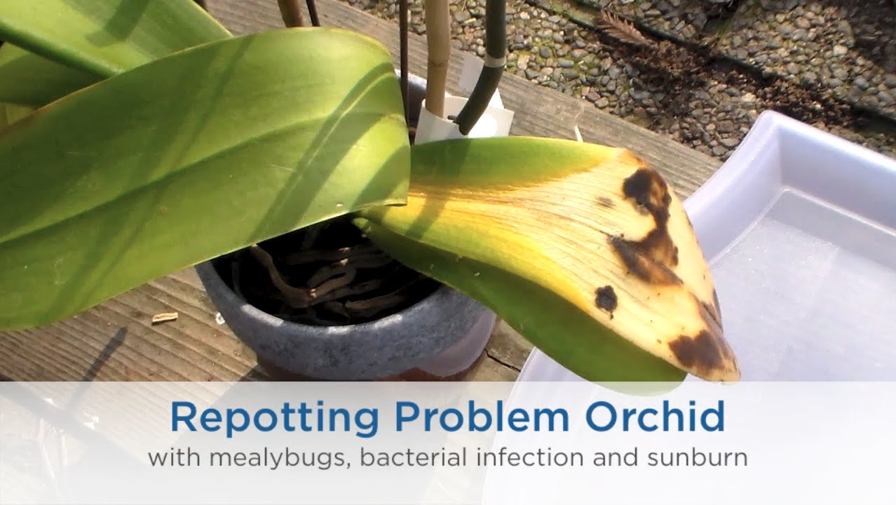 Mealybug: how to fight. Mealybug on orchid: how to get rid 45