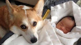 Собаки и кошки, защищающие младенцев * Hunder og katter som beskytter babyer