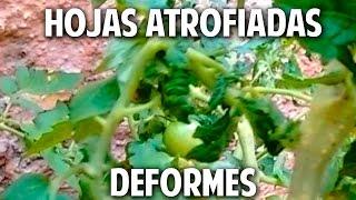 Virus en Tomates, Conchinilla Algodonosa, Transplante de Fresas, Huerta Colgante @cosasdeljardin