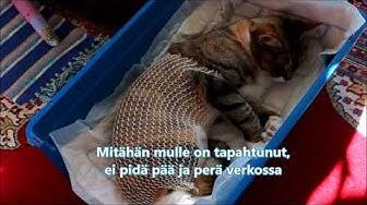 Killi kissan sterilointi