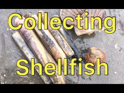 Coastal foraging - RAZOR CLAMS, COCKLES, WINKLES, MUSSELS AND SCALLOPS