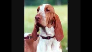 Все породы собак.Бракко Итальяно ( Итальянский пойнтер ) (Bracco Italiano)