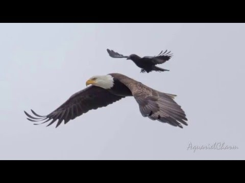 Crow Takes A Ride On The Back Of A Bald Eagle