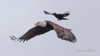 Eagle (Animal)