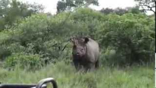 Black rhino charging a lion at Pondoro Game Lodge in Greater Kruger Park