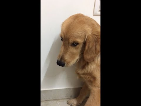 Guilty Golden Retriever puppy's reaction on getting caught