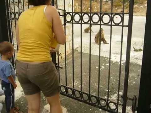 Gibraltar monkey feeding