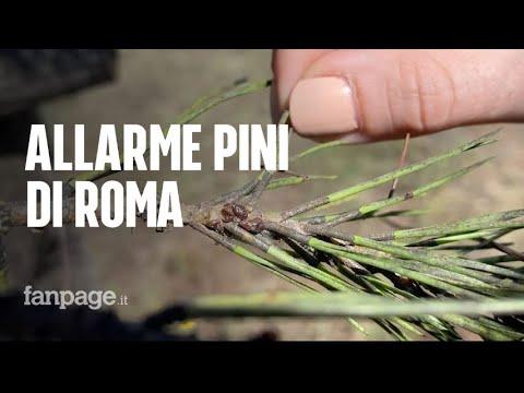 """Gli insetti che stanno distruggendo i pini di Roma: """"Già colpito l'80% degli alberi"""""""