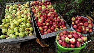 видео Вино из яблок в домашних условиях: простой пошаговый рецепт приготовления — Технология яблочного вина с черноплодной рябиной и винными дрожжами