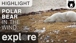 Polar Bear in The Wind - Cape Churchill Canada - Live Cam Highlight thumbnail