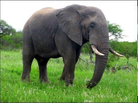 Los sonidos del elefante   sound elephant. - carlosmanfacebookx.blogspot.com -