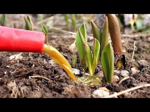 Тюльпаны будут самые красивые на деревне после этой подкормки! Чем подкормить тюльпаны весной?