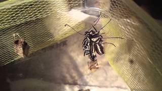 アゲハ蝶の羽化を撮りました。 ベランダのゆずの木にいた幼虫を捕獲して...