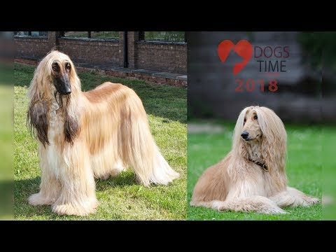 Afghan Hound Dog Breed Video Information 2018