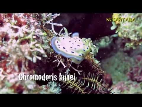 Nusantara: Marine invertebrates of Raja Ampat, West Papua