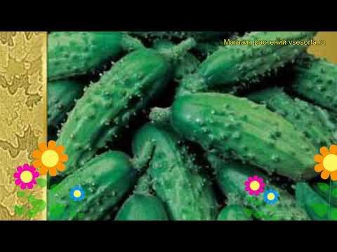 Огурец моравский Корнишон f1. Краткий обзор, описание характеристик, где купить семена Kornishon f1