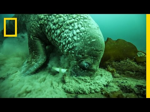A Close Encounter With a Walrus | National Geographic