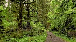 Hoh Rainforest River Trail- Olympic National Park