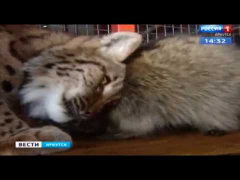В иркутском зоопарке рысь подружилась с енотом