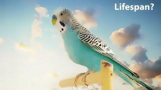 Какова средняя продолжительность жизни волнистого попугайчика? screenshot 5