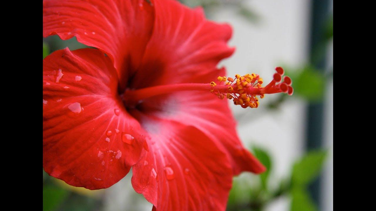 Good Morning Kuya Medicinal Benefits Of Gumamela Hibiscus Youtube
