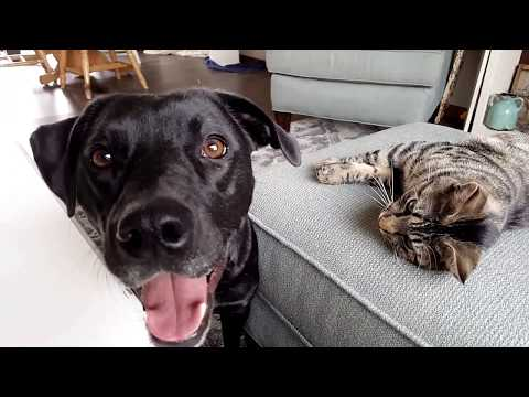 Pit Bull Labrador Mix Answers Questions and Plays With Kitten | Vlogmas