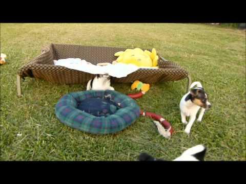 Tenterfield Terrier Puppies 15.2.2012