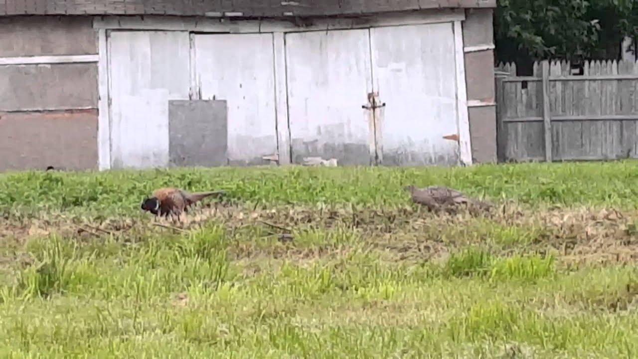 pheasants in new center detroit youtube