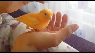 Kuşcu Mesut Abi | Yavru kanaryalarla oyun | Playing with Canary Chicks