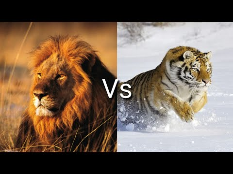 Лев против тигра