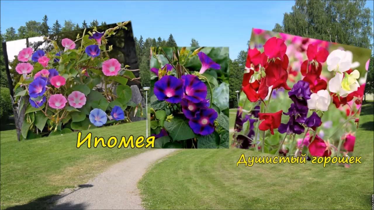 Однолетние цветы - начинающим цветоводам