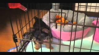 2011年5月3日生まれのヨークシャテリア♀ 体重600グラム 虎のぬいぐるみ...