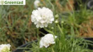 Армерия приморская quot;Альбаquot; - видео-обзор от Greensad