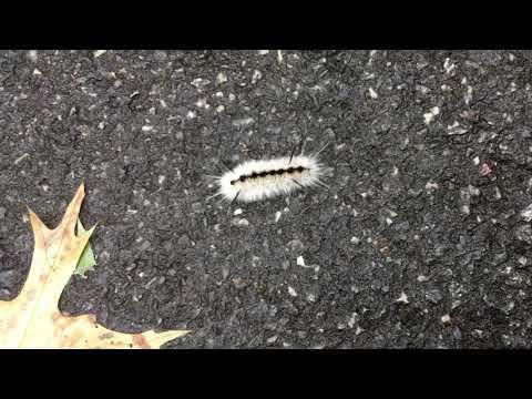 Hickory Tussock Caterpillar