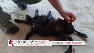 Արտակարգ դեպք  Արմավիրի մարզի Ջրառատ գյուղում 8 ոտանի, 2 պոչանի, 3 աչքանի գառնուկ է ծնվել