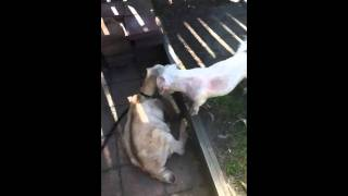 Dog Rapes Goat