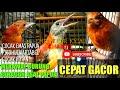 Terbukti Jadi Cepat Gacor Merawat Burung  Beracun  Cucak Emas Papua Variabel Pitohui Cucak Rotan  Mp3 - Mp4 Download