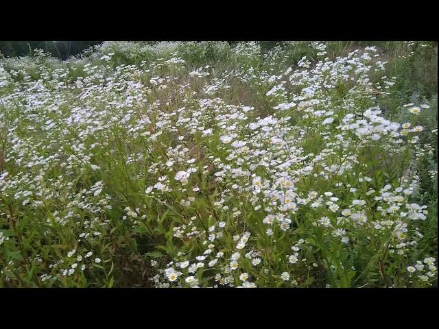 KAMILICA Lekovita biljka u prirodi / chamomile