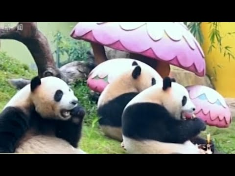 World's Only Panda Triplets Celebrate Lunar New Year