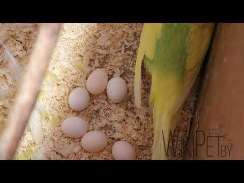 Часть: 2 // Размножение волнистых попугаев в домашних условиях // уход самца