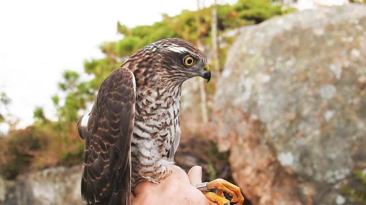 Download Female Sparrowhawk - Spurvehauk (Accipiter nisus) ringed at Herdla Fuglestasjon